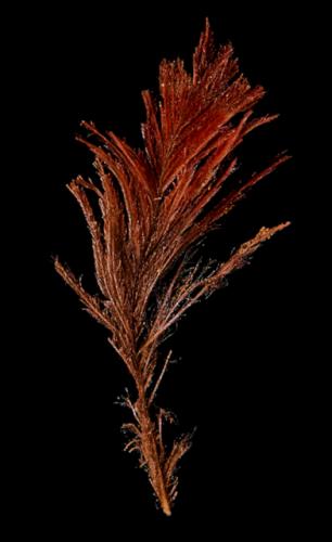 La plume de Loriquet de Kuhl. Cette plume a été découverte à l'intérieur de A'a par Julie Adams en 2015 (British Museum)